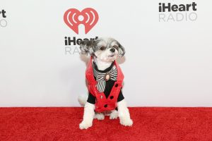 NEW YORK, NEW YORK - DECEMBER 13: Tinkerbelle the dog arrives at iHeartRadio's Z100 Jingle Ball 2019 Presented By Capital One on December 13, 2019 in New York City. (Photo by Monica Schipper/Getty Images)